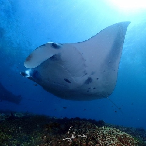 diving with the manta rays - bali